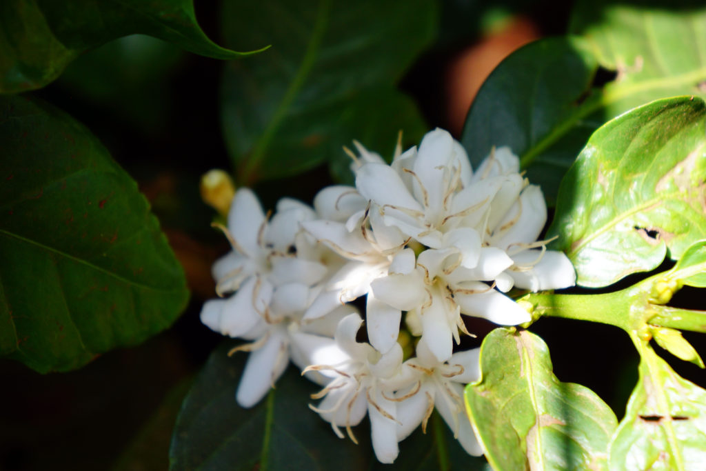 Coffee Blossoms
