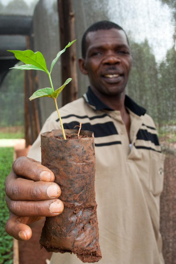 Uganda White Nile Coffee Seedlings
