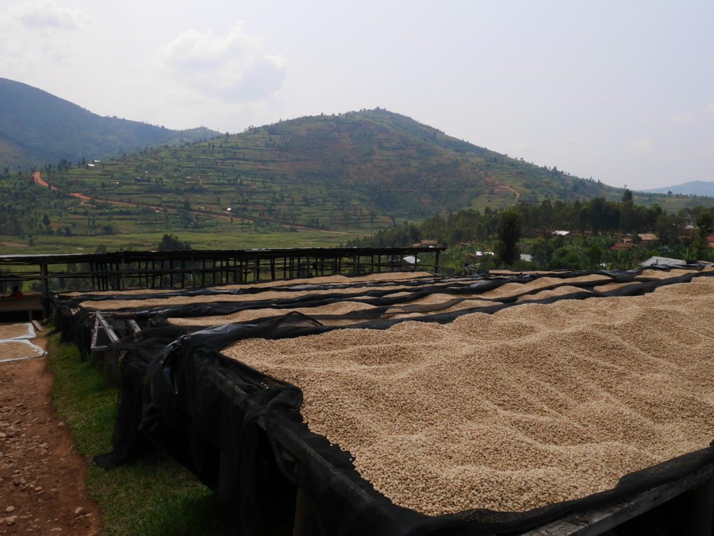 Coffee Drying - Rwanda BUF Cafe