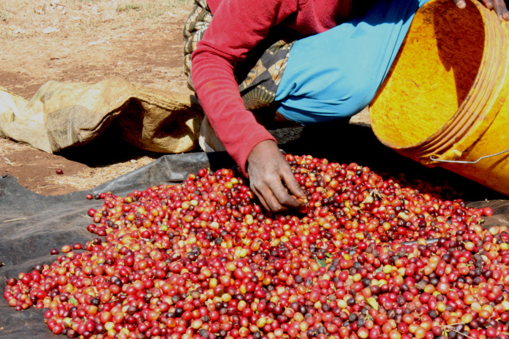 Tanzania Iyenga - Coffee Cherries