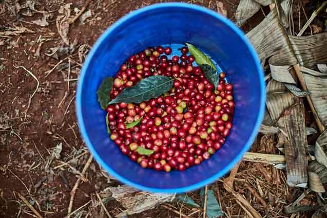 Kenya Ruchu Cherries