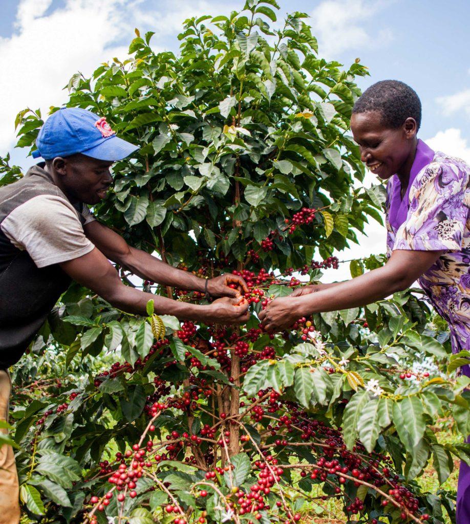 Uganda Kapchorwa coffee
